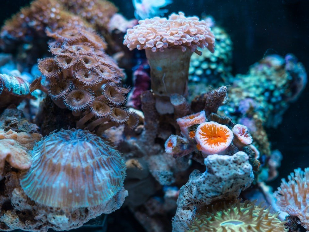 sea anemones and corals